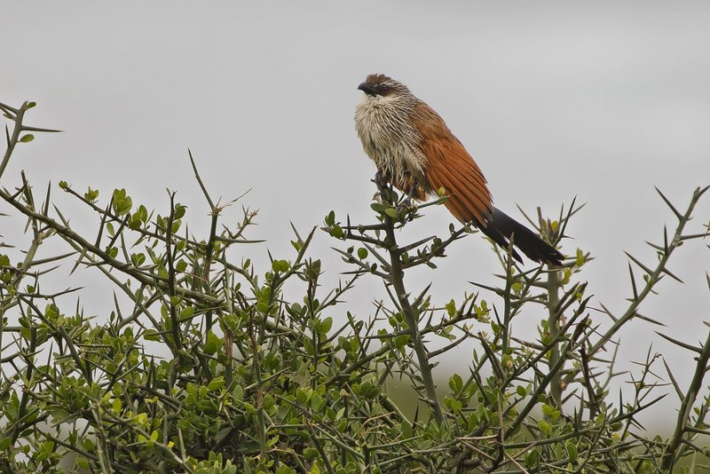large_Coucal__White_Browed_1.jpg