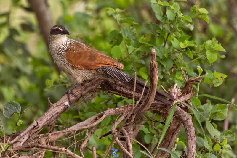 large_Coucal__White_Browed_11-1.jpg