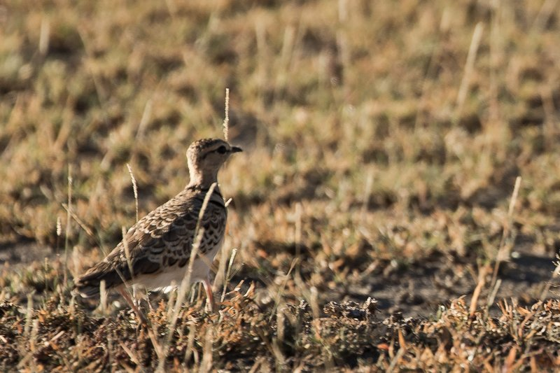 large_Courser__Two_Banded_1.jpg