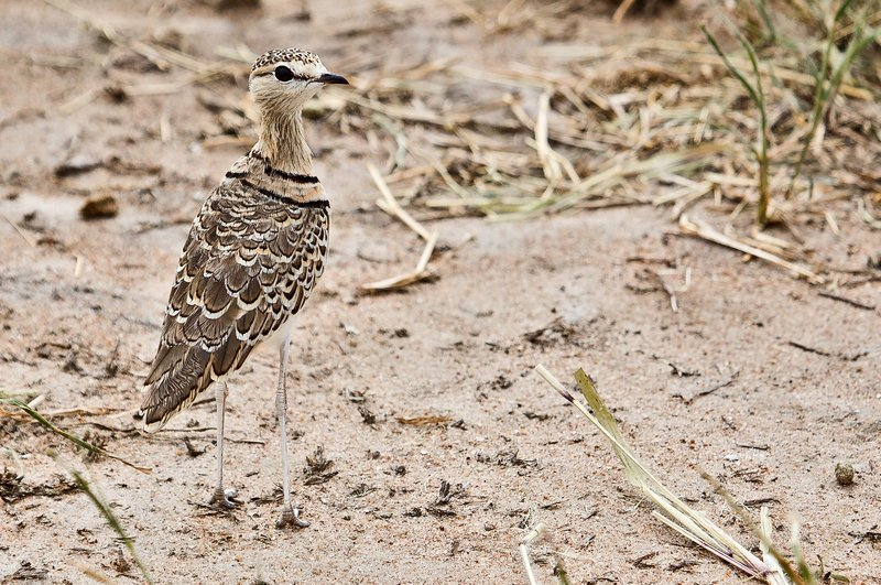 large_Courser__Two_Banded_5-2.jpg