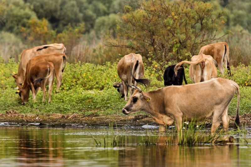 large_Cows_1.jpg