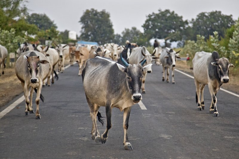 large_Cows_in_Road_2.jpg