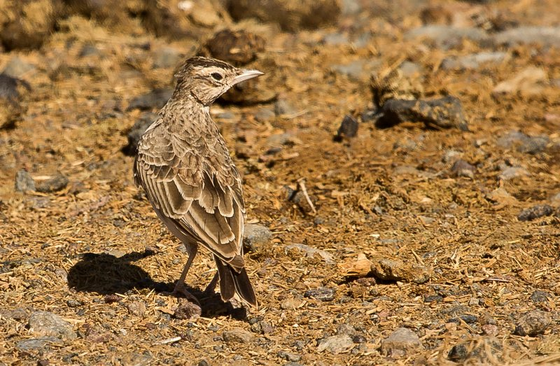 large_Crested_Lark_1.jpg