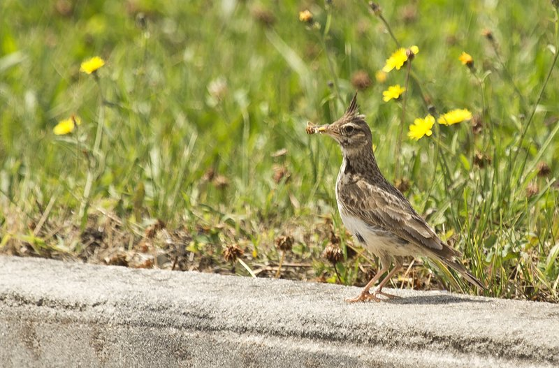 large_Crested_Lark_2.jpg
