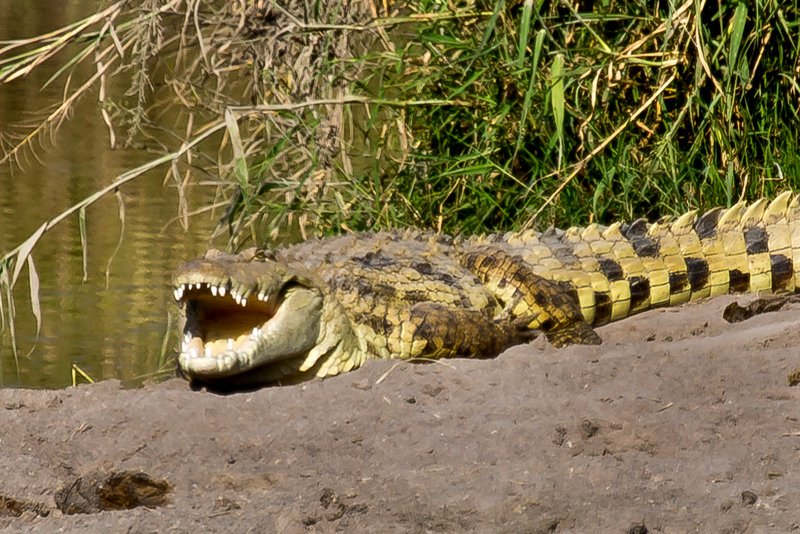 large_Crocodile_11-12.jpg