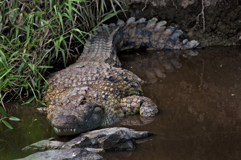 large_Crocodile__Nile_10-1.jpg