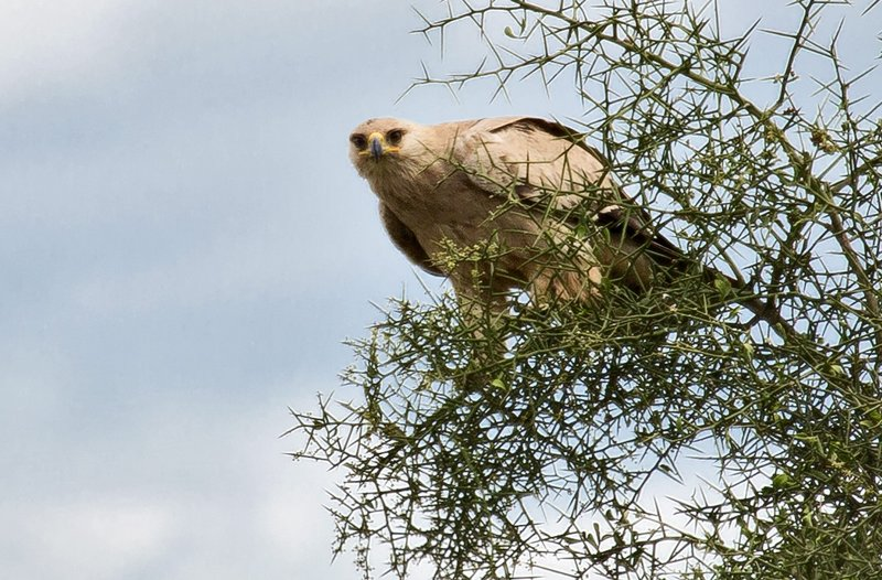 large_Dark_Tawny_Eagle_2.jpg
