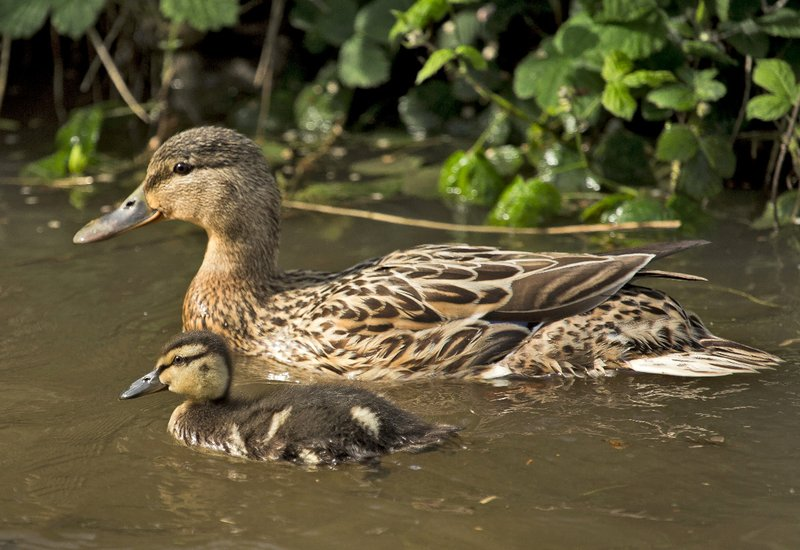 large_Duck_with_Babies_1.jpg