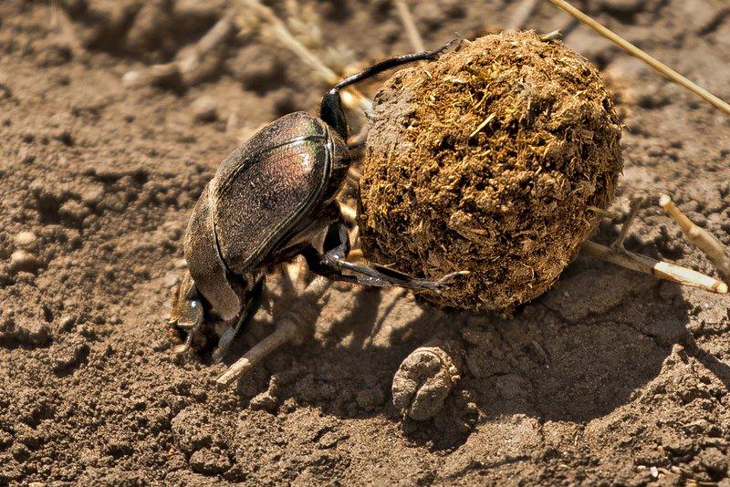large_Dung_Beetle_6.jpg