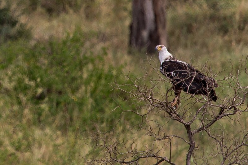 large_Eagle__African_Fish_10-1.jpg