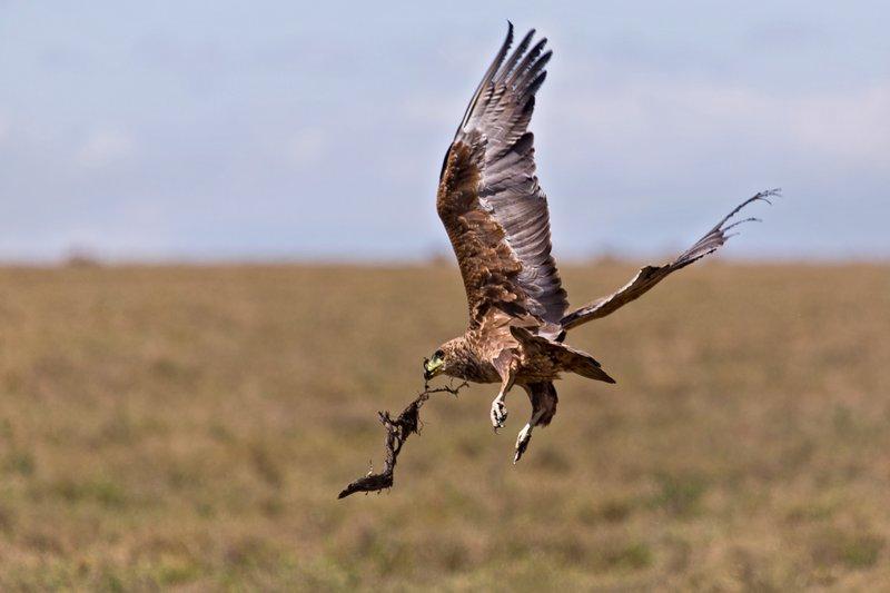large_Eagle__Steppe_9-3.jpg