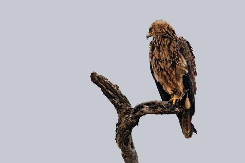 large_Eagle__Tawny_1.jpg
