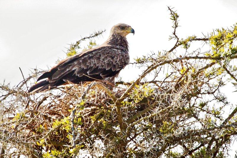 large_Eagle__Tawny_12-3.jpg