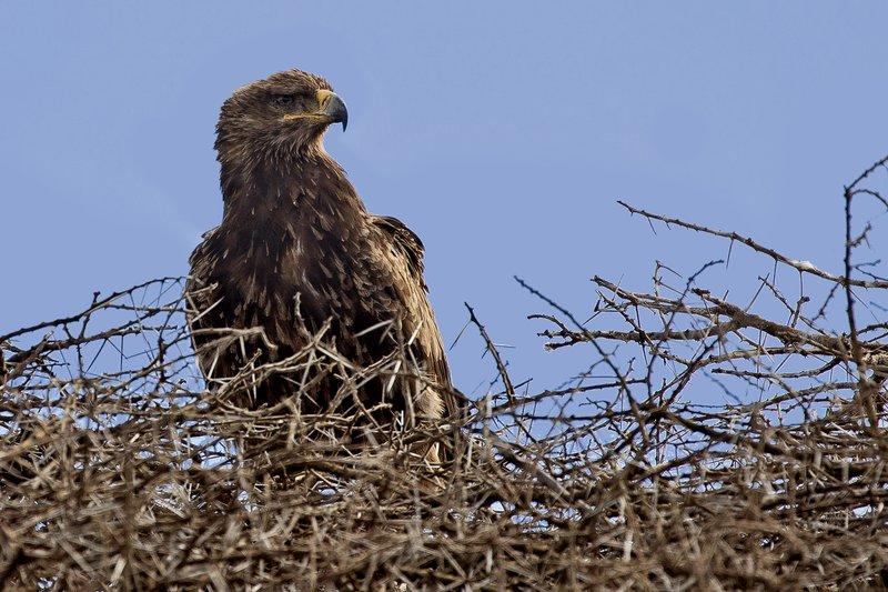 large_Eagle__Tawny_42.jpg