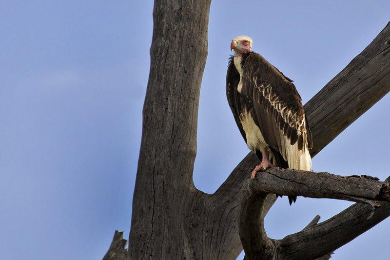 large_Eagle__White_Headed_9-1.jpg