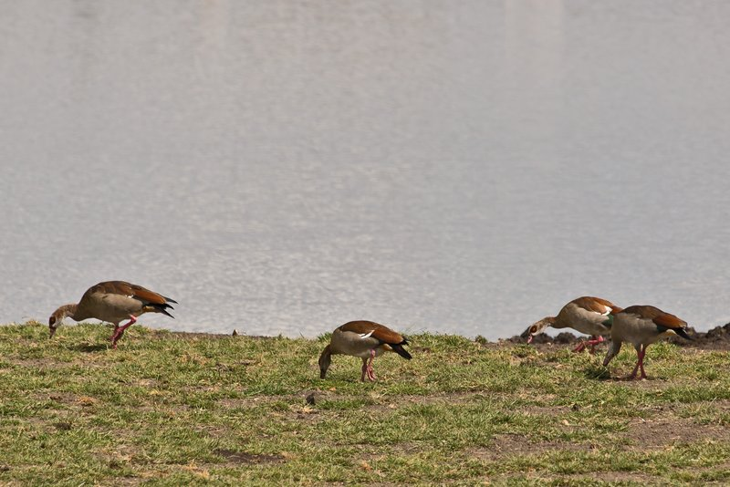 large_Egyptian_Geese_2.jpg