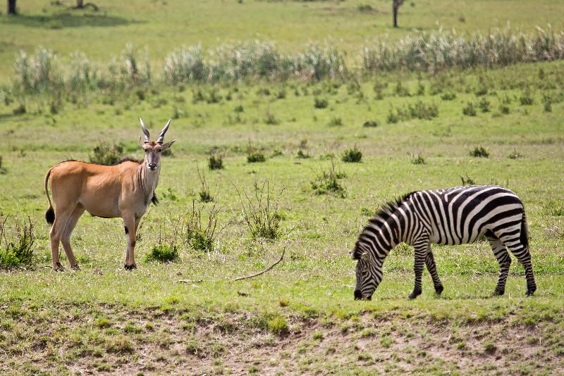 large_Eland_and_Zebra_1.jpg