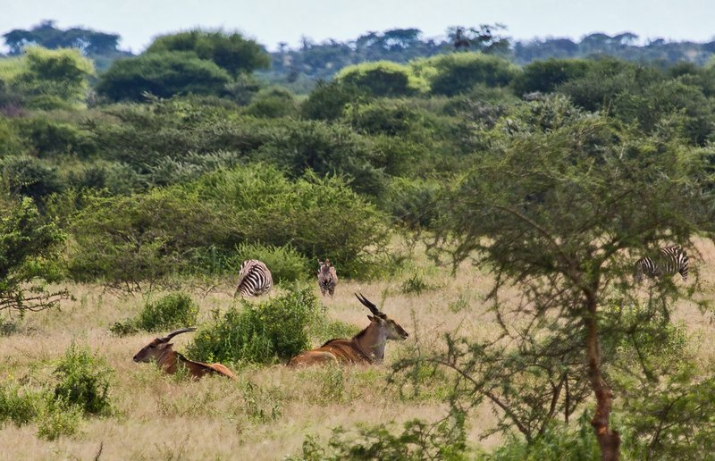 large_Eland_and_Zebra_4-1.jpg