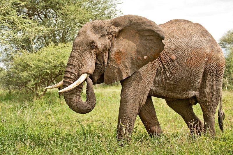 large_Elephant_601.jpg