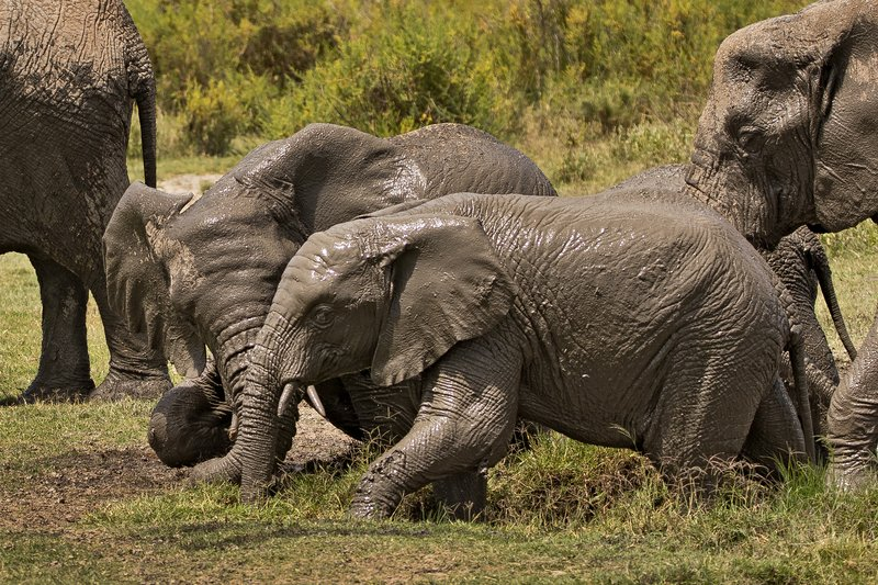large_Elephant_Mudbath_15.jpg