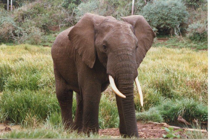large_Elephant_a..dge_____058.jpg