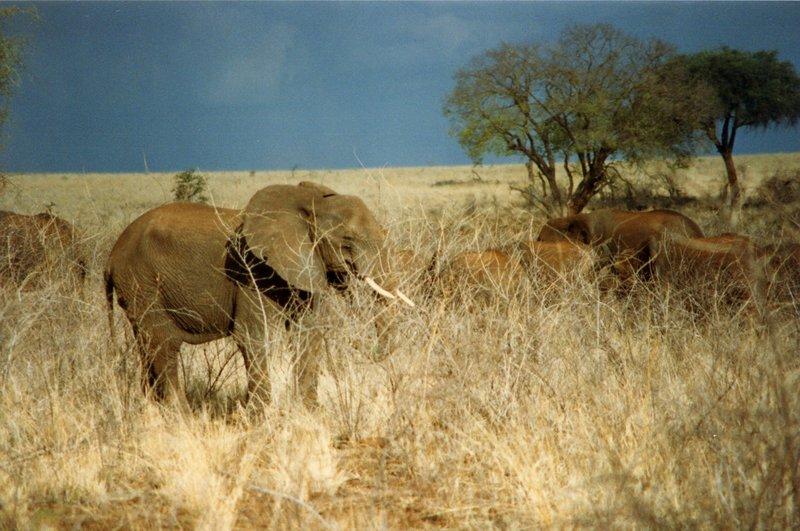 large_Elephants_..rk______111.jpg