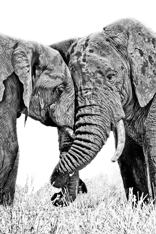 large_Elephants_188_B_W_1.jpg