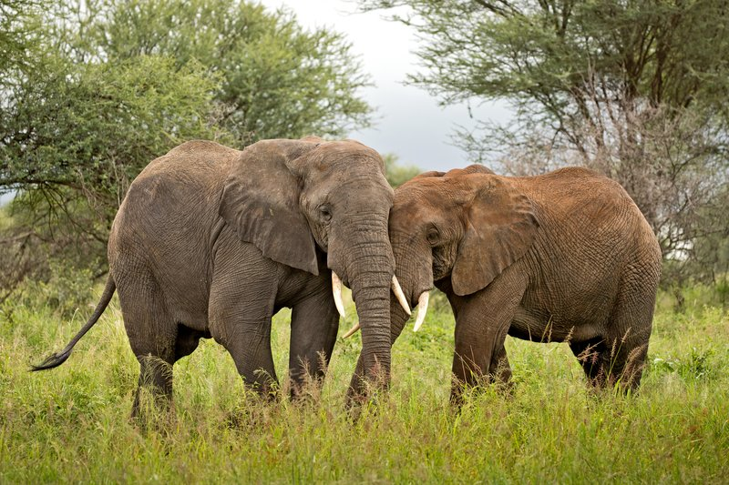 large_Elephants_60.jpg