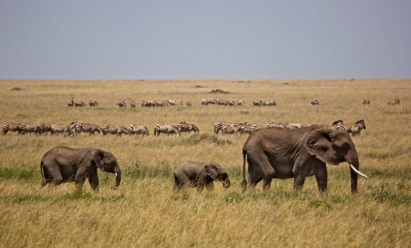 large_Elephants_and_Zebra_1.jpg