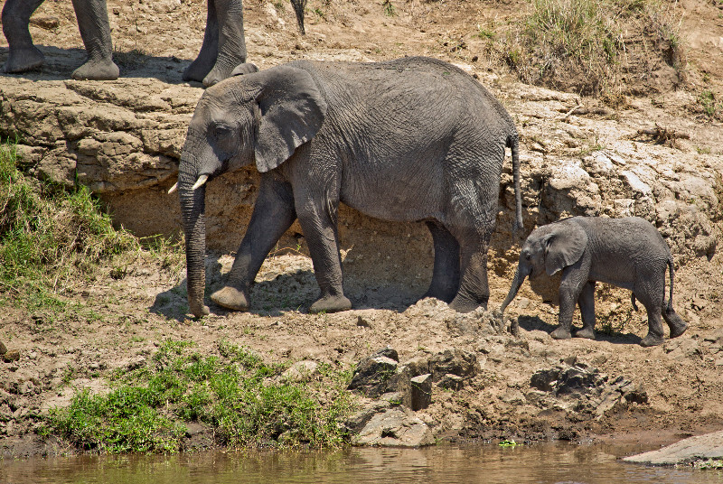 large_Elephants_in_the_Water_3.jpg