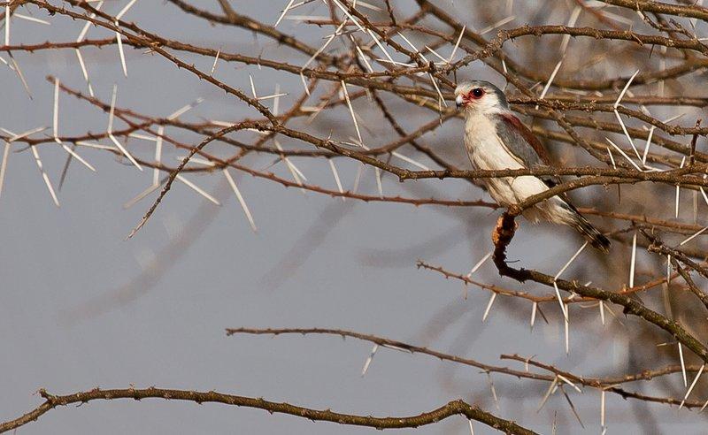 large_Falcon__African_Pygmy_1.jpg