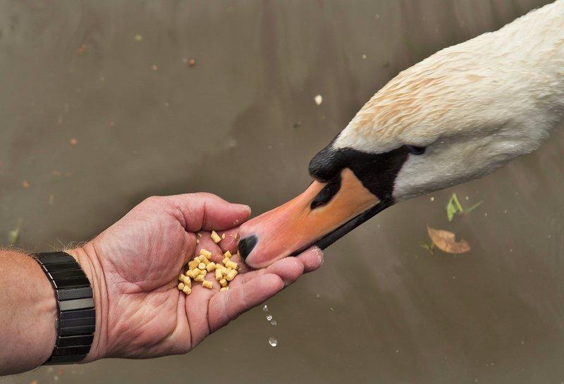 large_Feeding_the_Swans_1.jpg