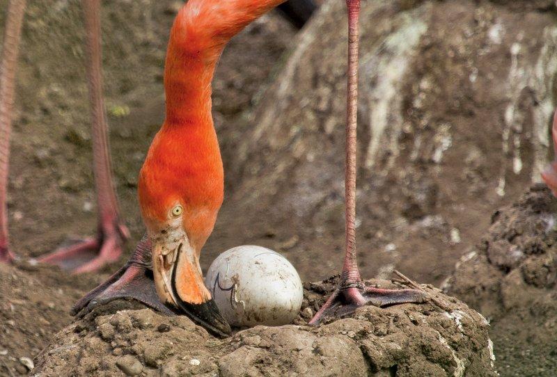 large_Flamingo_Egg_1.jpg