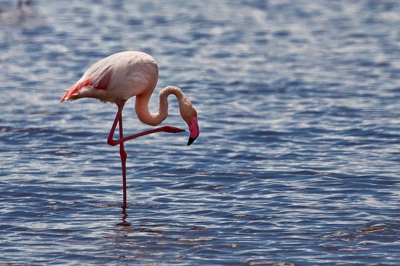 large_Flamingo__Lesser_22.jpg