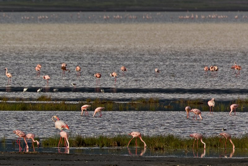 large_Flamingos__Lesser_2.jpg