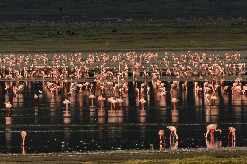 large_Flamingos__Lesser_5.jpg