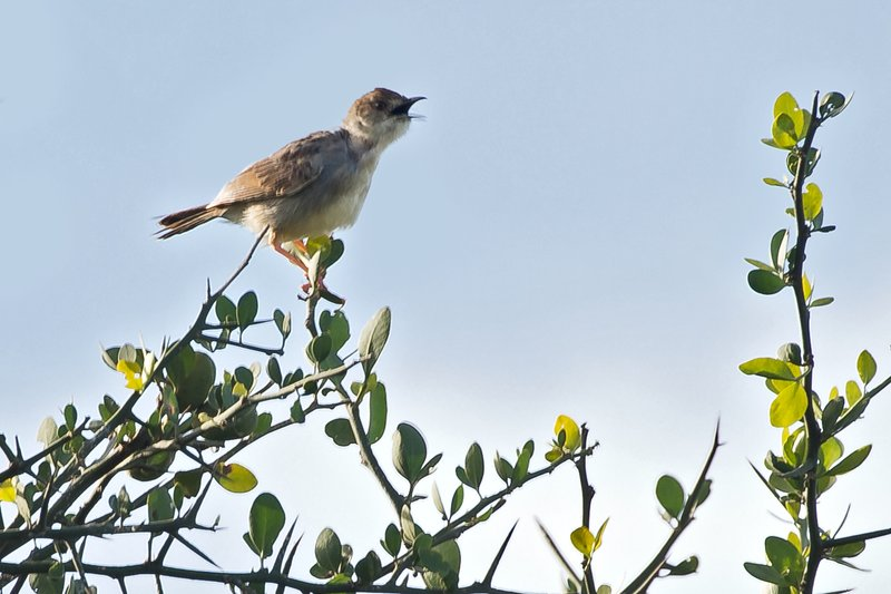 large_Flycatcher__Spotted_1.jpg