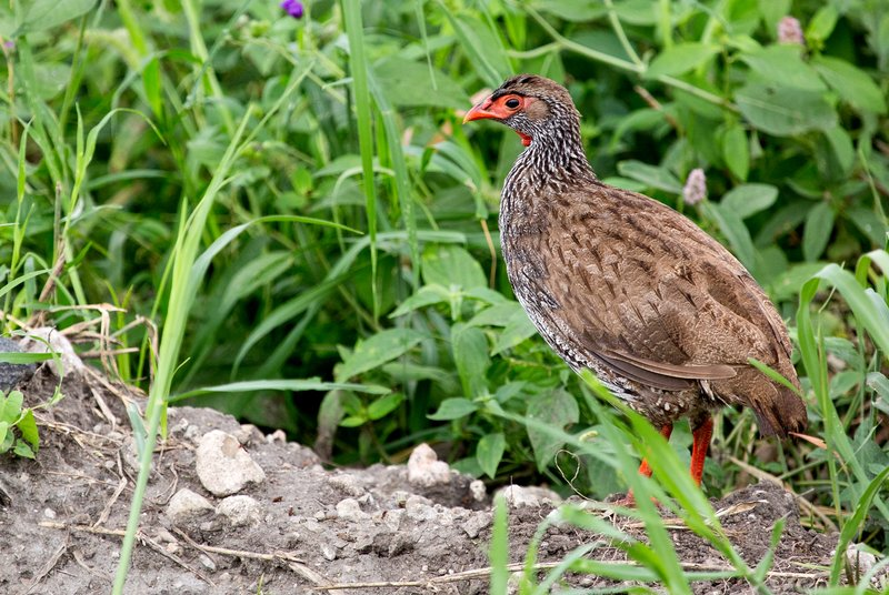 large_Francolin__Red_Necked_5-1.jpg