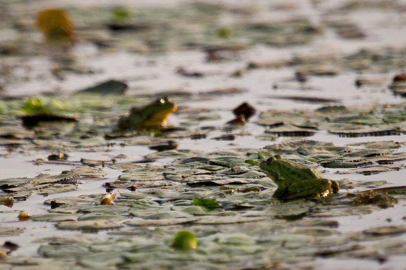 large_Frogs_1.jpg