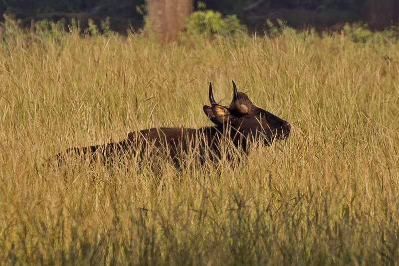large_Gaur__Indian_Bison__1.jpg