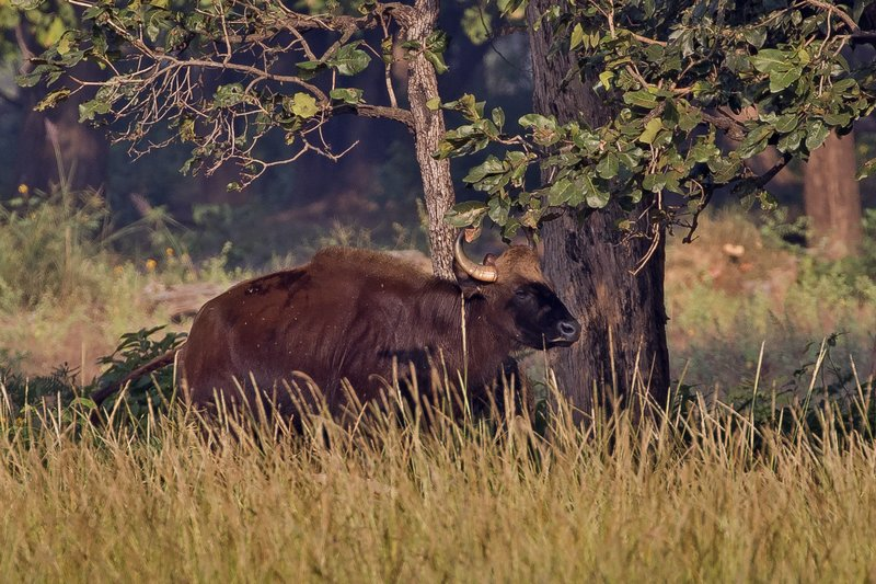 large_Gaur__Indian_Bison__2.jpg
