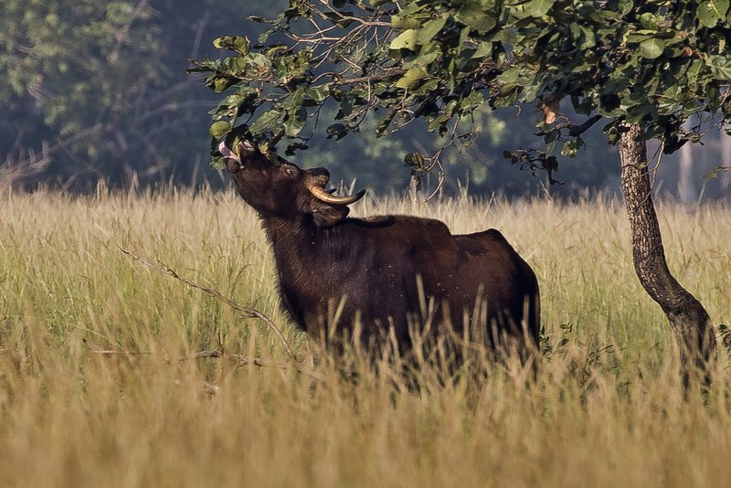 large_Gaur__Indian_Bison__3.jpg