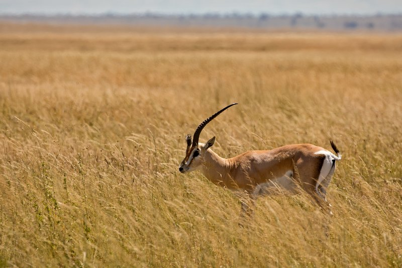 large_Gazelle__G..-horned__51.jpg