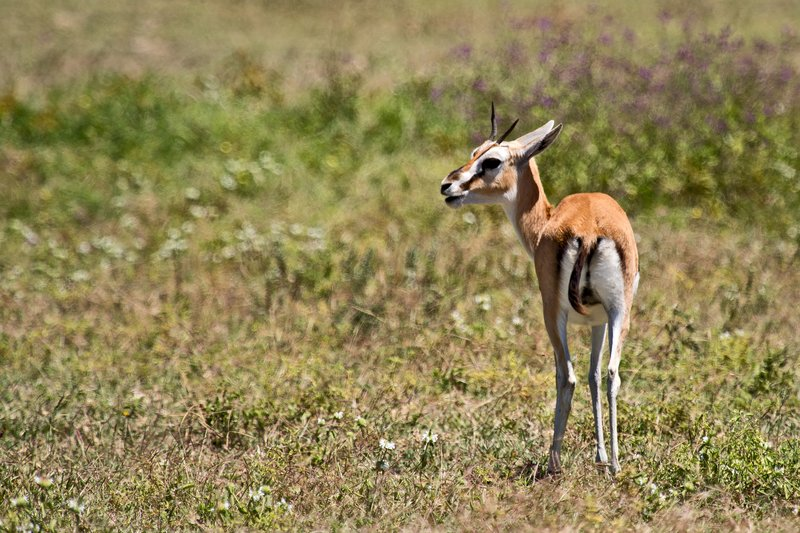 large_Gazelle__Thomson_s_6-2.jpg