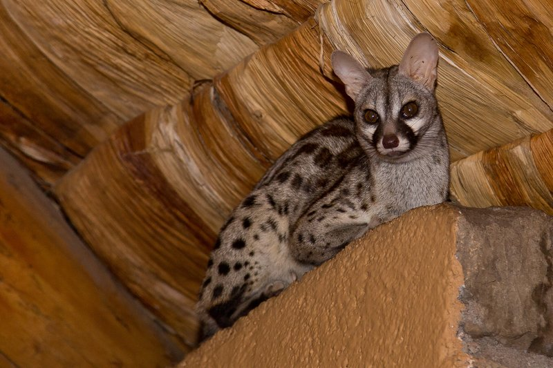 large_Genet__Small_Spotted_7-8.jpg