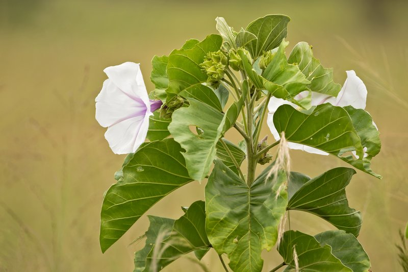 large_Giant_Morning_Glory_1.jpg