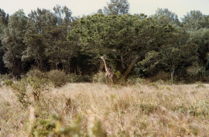 large_Giraffe_-_..l_Park__029.jpg