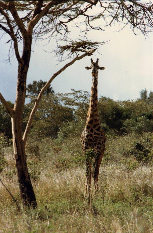 large_Giraffe_-_..l_Park__030.jpg