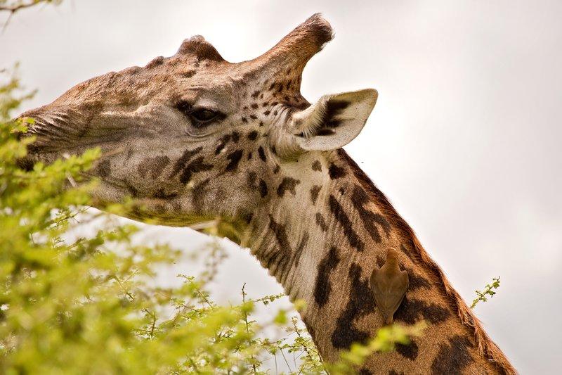 large_Giraffe_10-201.jpg