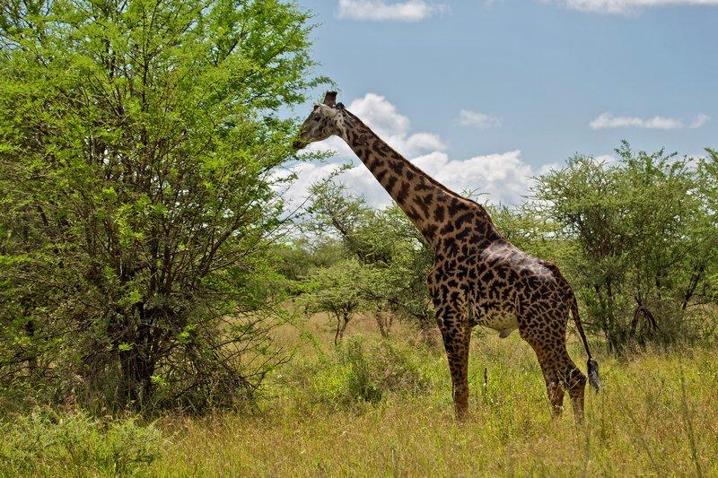 large_Giraffe_10-202.jpg